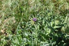 Silybum marianum. Or cardus marianus, milk thistle, blessed milkthistle stock photography