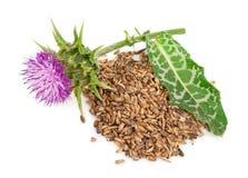 Silybum marianum Dojny oset medyczne rośliny obraz royalty free