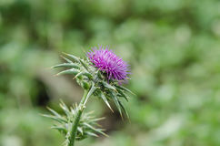 Silybum marianum, Stock Photos