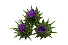 Silybum marianum. Milk thistle (Silybum marianum) flower Stock Photo