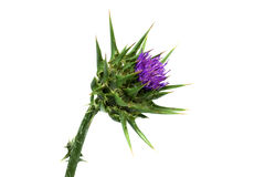 Silybum marianum. Milk thistle (Silybum marianum) flower Royalty Free Stock Images