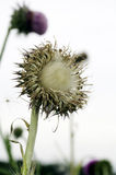 Silybum marianum, milk thistle, Stock Photo