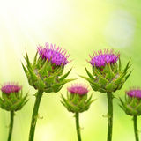 Silybum marianum. (Milk Thistle) on green natural background stock image