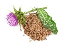 Silybum marianum Milk Thistle. Medical plants. On white background royalty free stock image