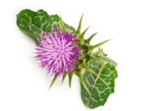 Silybum marianum Milk Thistle.  Medical plants Royalty Free Stock Image