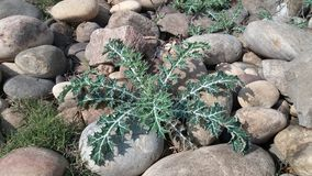 Silybum marianum plant in stones. Silybum marianum plant, light colors this beautiful picture has been taken at mirpur national park stock images