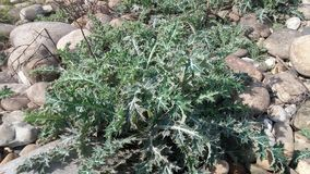 Silybum marianum plant. Light colors this beautiful picture has been taken at mirpur national park royalty free stock images