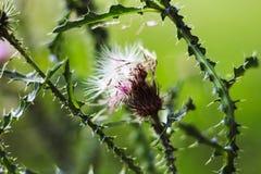 Silybum marianum trockene Blumen, dornige Distelblume Heilpflanzemariendistelnahaufnahme Mariendistelblume in der Blüte lizenzfreie stockfotos