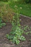 Silybummarianumväxt Royaltyfria Bilder