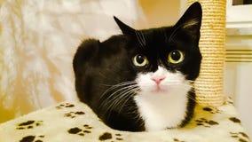 Simba η γάτα Στοκ Εικόνες