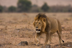 Simba. A lion walking though the savannah Stock Image