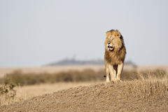 Simba. Big male lion in the morning light, Masai Mara, Republic of Kenya, East Africa Stock Image