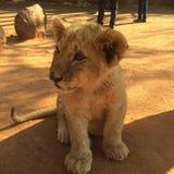 Simba Photo libre de droits