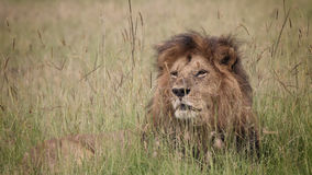 Simba. Alpha male african lion of Marsh Pride at Masai Mara Stock Photo