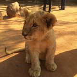 Simba. Baby lion cub Royalty Free Stock Photo
