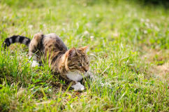 Simba the cat. Lying on a grass Stock Photos