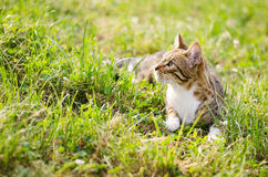 Simba the cat. Lying on a grass Stock Photography