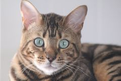 Simba. Cute bengal cat Royalty Free Stock Photo