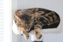 Simba. Cute bengal cat Stock Photos