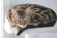 Simba. Cute bengal cat Royalty Free Stock Image