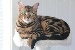 Simba. Cute bengal cat Royalty Free Stock Photos