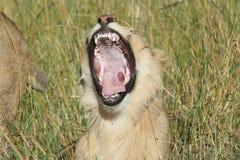 Simba de Lion de pathela de lionne dans le masai Mara dans le Kenyan Image stock