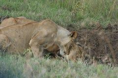 Simba de Lion de pathela de lionne dans le masai Mara dans le Kenyan Photographie stock