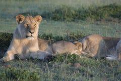 Simba de Lion de pathela de lionne dans le masai Mara dans le Kenyan Image libre de droits
