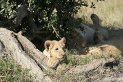 Simba de Lion de pathela de lionne dans le masai Mara dans le Kenyan Photos libres de droits