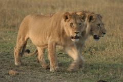 Simba de Lion de pathela de lionne dans le masai Mara dans le Kenyan Images libres de droits