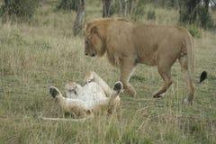 Simba de Lion de pathela de lionne dans le masai Mara dans le Kenyan Photo stock