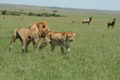 Simba de Lion de pathela de lionne dans le masai Mara dans le Kenyan Photo libre de droits