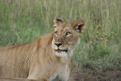 Simba di Leo di pathela della leonessa in masai Mara in keniano Fotografie Stock Libere da Diritti