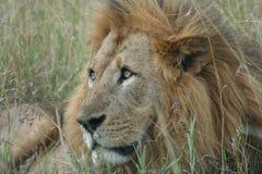 Simba di Leo di pathela della leonessa in masai Mara in keniano Immagine Stock Libera da Diritti