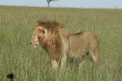 Simba di Leo di pathela della leonessa in masai Mara in keniano Fotografie Stock