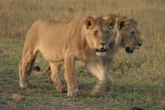 Simba di Leo di pathela della leonessa in masai Mara in keniano Immagini Stock Libere da Diritti
