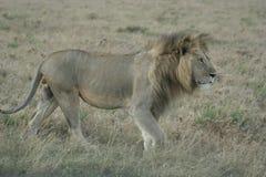Simba di Leo di pathela della leonessa in masai Mara in keniano Fotografia Stock