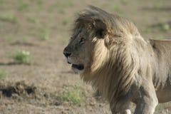 Simba di Leo di pathela della leonessa in masai Mara in keniano Immagini Stock