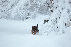 Simba. German shepherd dog during the winter playing in the snow Stock Image