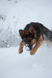 Simba. German shepherd dog during the winter playing in the snow Royalty Free Stock Photography
