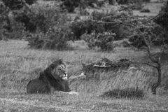 Simba. Large male lion in black and white Royalty Free Stock Photo