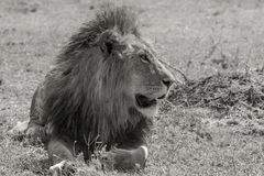 Simba. Large Male Lion in black and white Stock Image