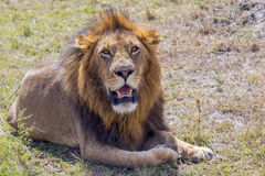 Simba. Large Male Lion ion the Masai Mara Stock Photo