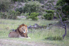 Simba. Large male lion in the Mara Royalty Free Stock Images