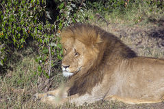 Simba. Large male lion in the Masai Mara Royalty Free Stock Images