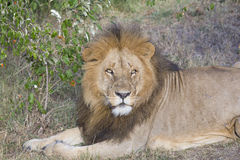 Simba. Large male lion in the Masai Mara Stock Photo