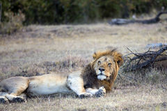Simba. Large male lion waking up Royalty Free Stock Images