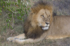 Simba. A large wild male lion in the Masai Mara Royalty Free Stock Image