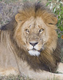Simba. A large wild male lion in the Masai Mara Stock Photos