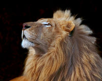 Simba's Pride Royalty Free Stock Photo